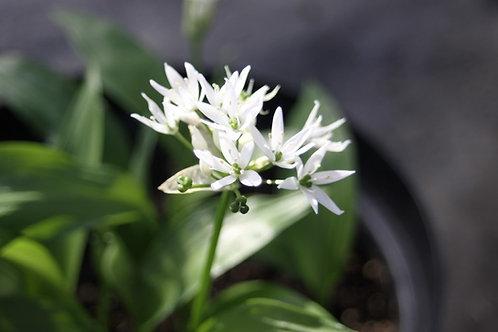 Allium ursinum Wild Garlic