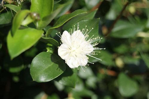 Myrtus communis Myrtle