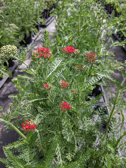 Achillea 'The Beacon' Collection from nursery only