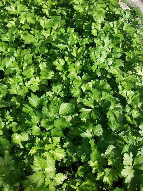 Petroselinum crispum French Flat Leaf Parsley