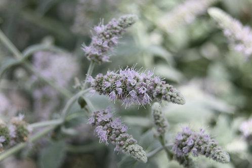 Mentha longifolia 'Buddleia Mint'