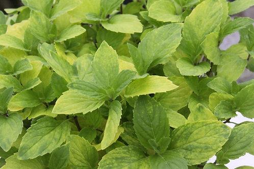 Mentha x gracilis 'Ginger mint'