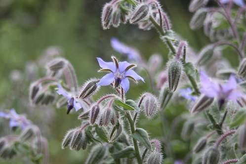 Borago officinalis Borage