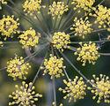 Foeniculum vulgare 2.JPG