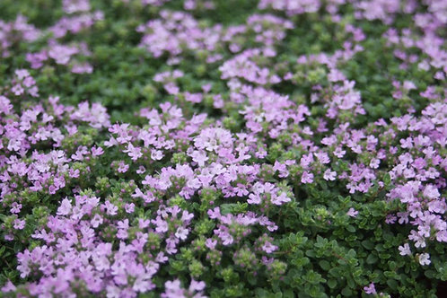 Creeping Thyme collection