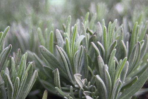Lavender Edelweiss