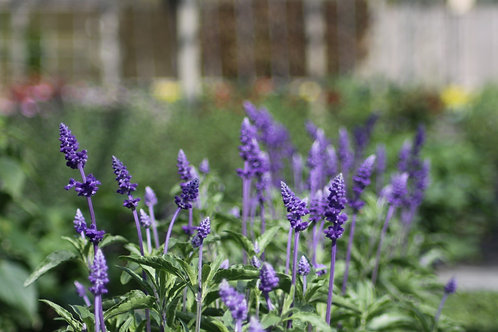 Salvia Blue - Available to collect from nursery only