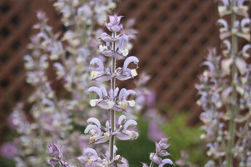 Salvia sclerea Clary Sage Large - Collection from nursery only