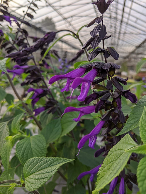 Salvia 'Amistad' Collection from nursery or delivery only