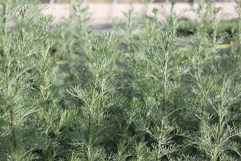 Artemisia abrotanum Southernwood