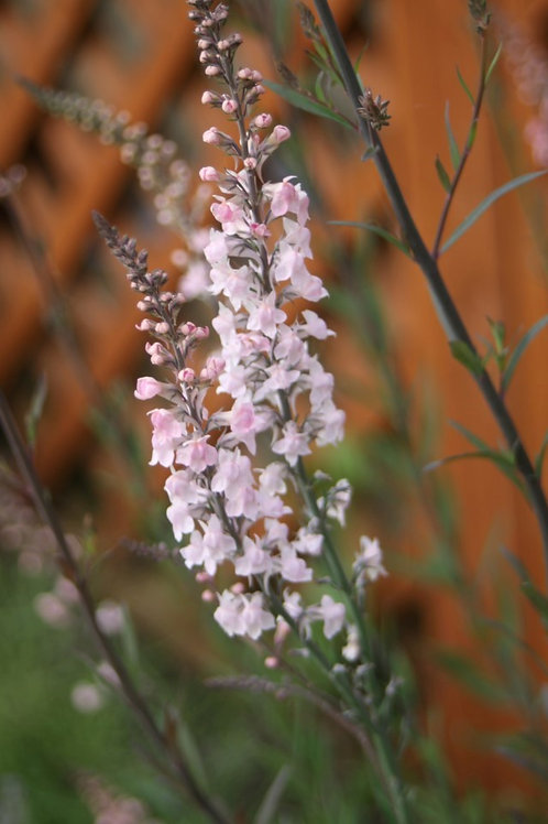 Linaria purpurea  'Canon Went' Pink Toadflax