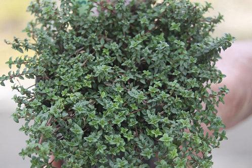 Thymus herba-barona Caraway Thyme
