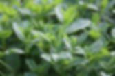 Mentha spicata var. crispa 'Morrocan'  2