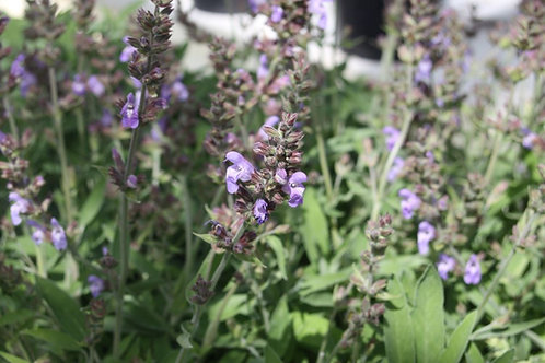 Salvia officinalis Green sage