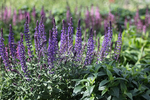 Salvia 'Merlot Blue' Available to collect from nursery only