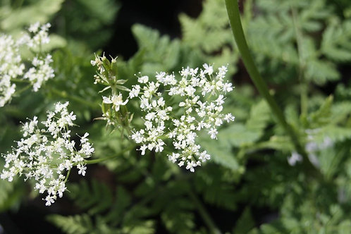 Myrrhis odorata Sweet Cicely