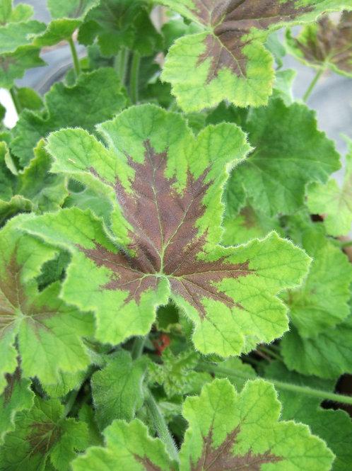 Pelargonium tormentosum 'Chocolate'