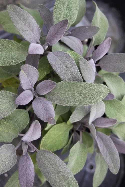 Salvia officinalis 'Purpurascens' Purple Sage