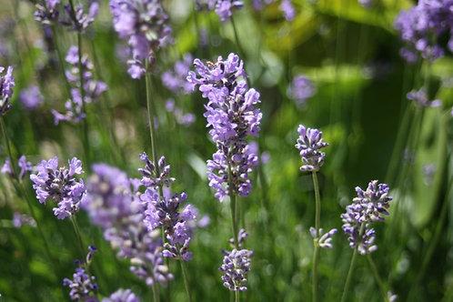 Lavandula angustifolia 'Munstead' Lavender Munstead