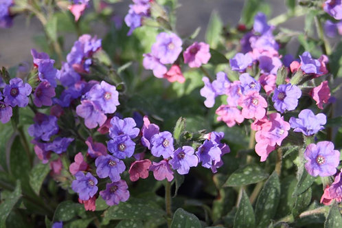 Pulmonaria officinalis Lungwort