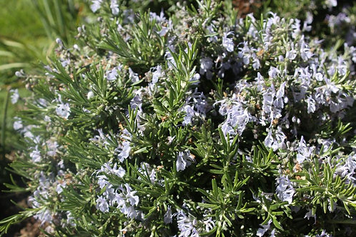 Rosmarinus officinalis 'Prostratus group' Prostrate Rosemary