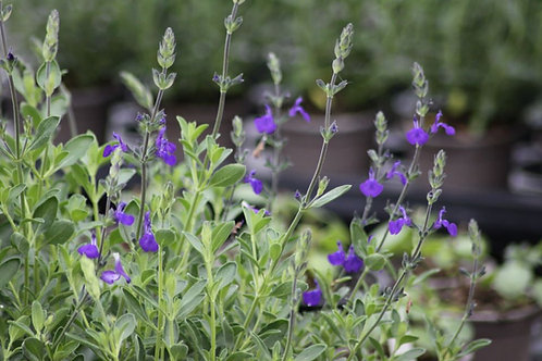 Salvia 'Blue Amore' Collection from nursery only