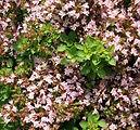 Origanum vulgare  compactum.JPG