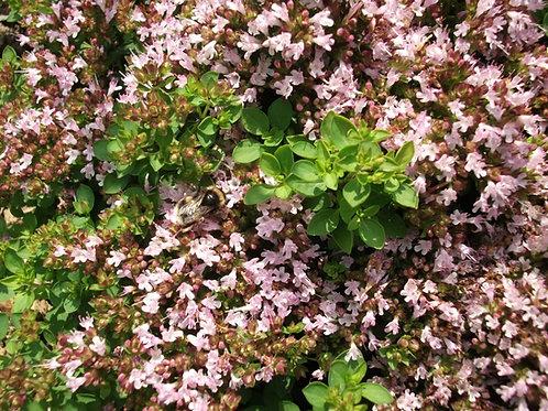 Origanum vulgare  compactum Dwarf Marjoram