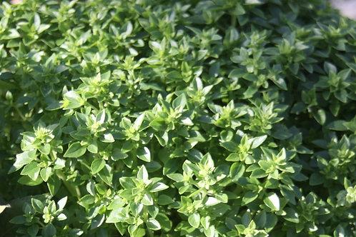 Ocimum minimum Greek Basil