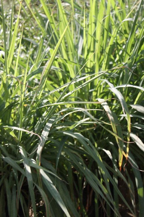 Cymbopogon citratus Lemon Grass