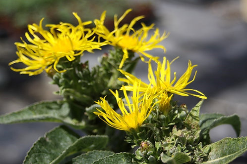Inula helenium Elecampane Available to collect from nursery only