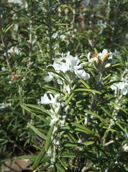 Rosmarinus officinalis var. albiflorus White Rosemary