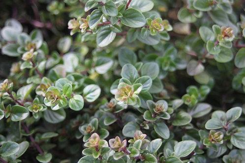 Thymus pulegioides Broadleaf Thyme