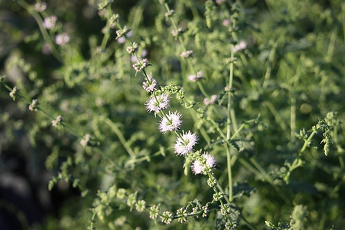 Mentha × piperita 'Strawberry' Strawberry Mint