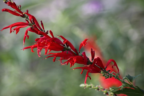 Salvia elegans 'Pineapple'