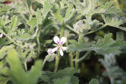 Pelargonium 'Joy Lucille'