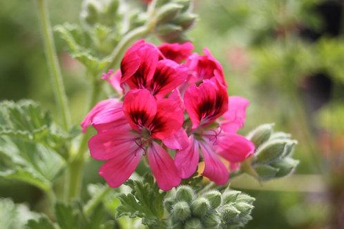 Pelargonium 'Camphor Rose'