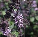 Ocimum kilimandscharicum x basilicum 2.J