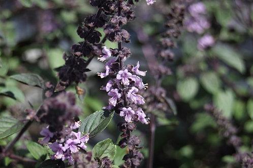 Ocimum kilimandscharicum x basilicum African Blue Basil