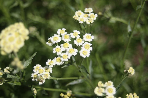 Achillea ageratum English Mace