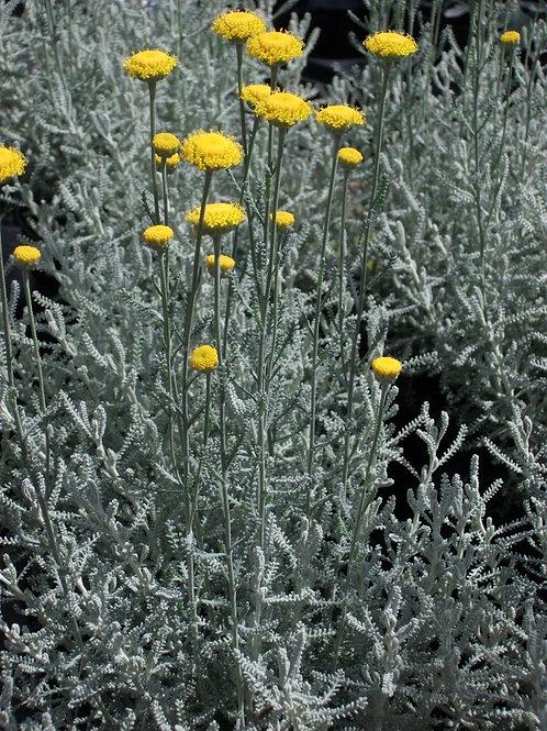 Santolina chamaecyparissus Cotton Lavender Large