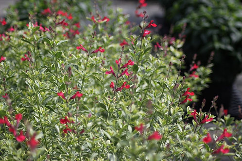 Salvia greggii 'Sparkler' Collection from nursery only