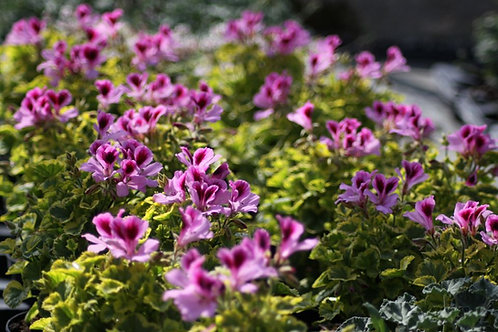 Pelargonium 'Golden tears'