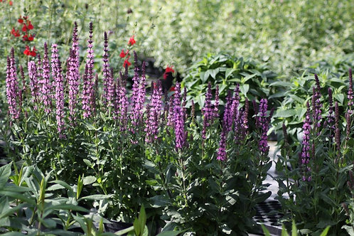 Salvia 'Merlot Pink' Available to collect from nursery only