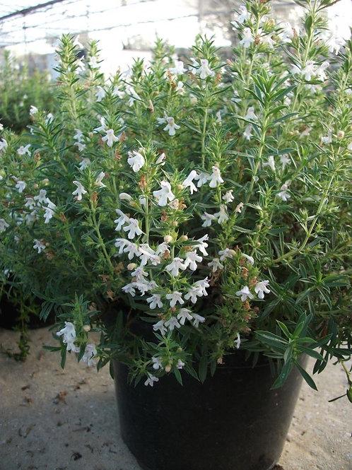 Satureja montana Winter Savory