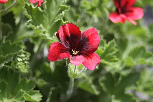 Pelargonium 'Voodoo'