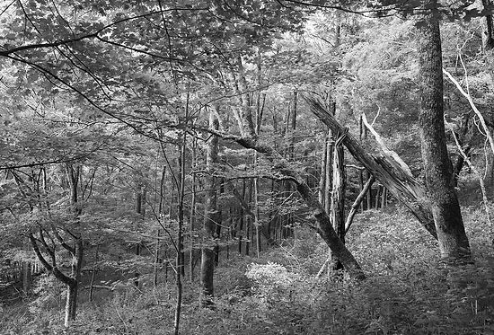 Roan Mountain NC Forest Slants 2.jpg