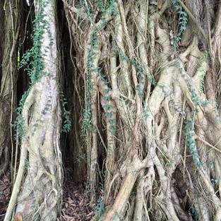 DANCE OF THE BANYAN TREES