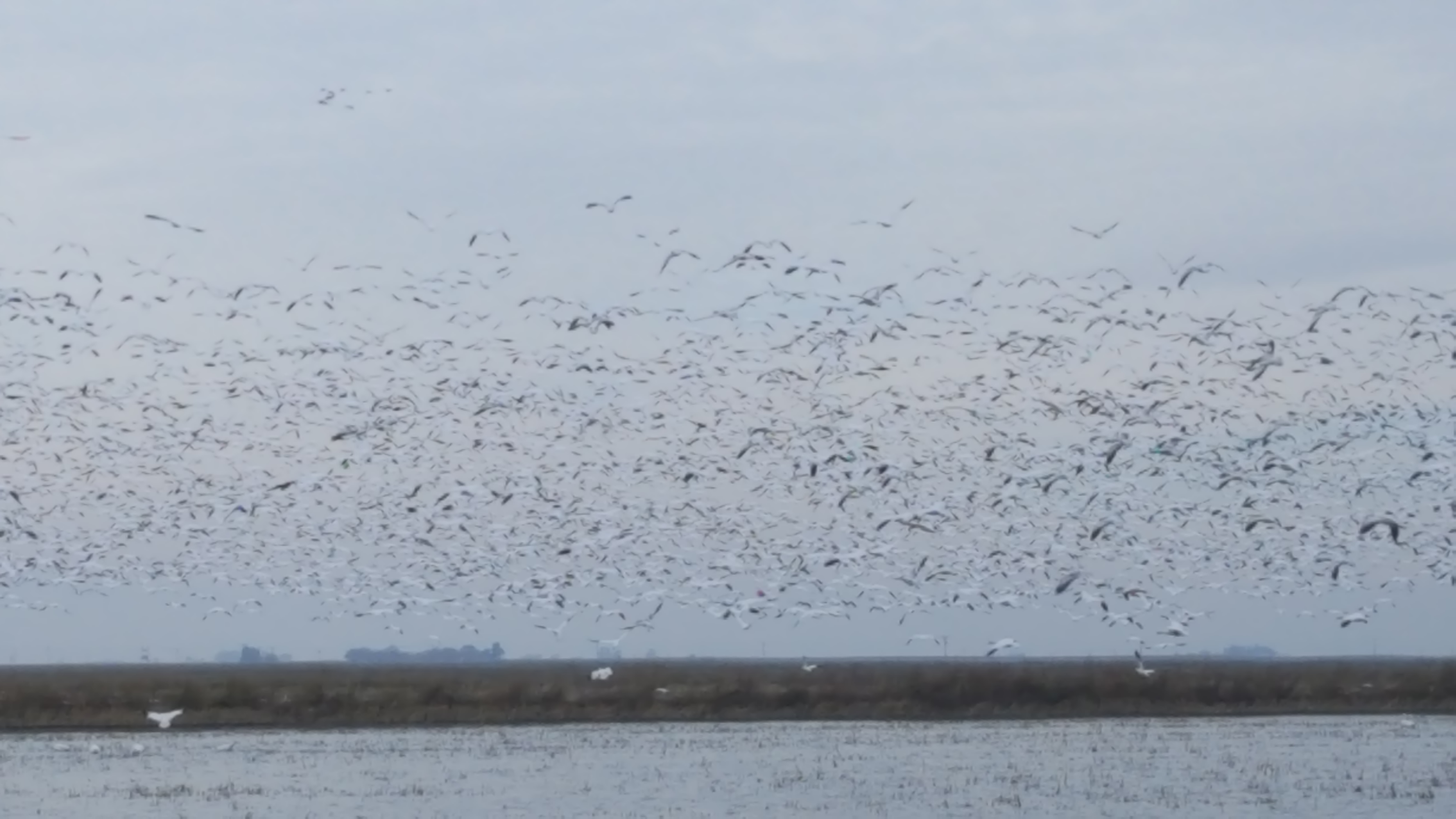 waterfowl snow geese 1