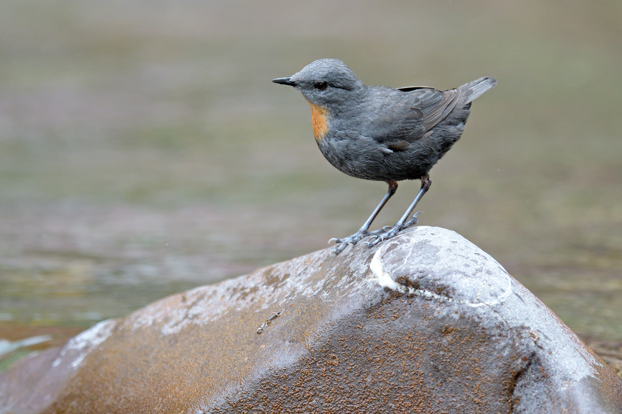 Rufous-throated Dipper - El Infiernillo